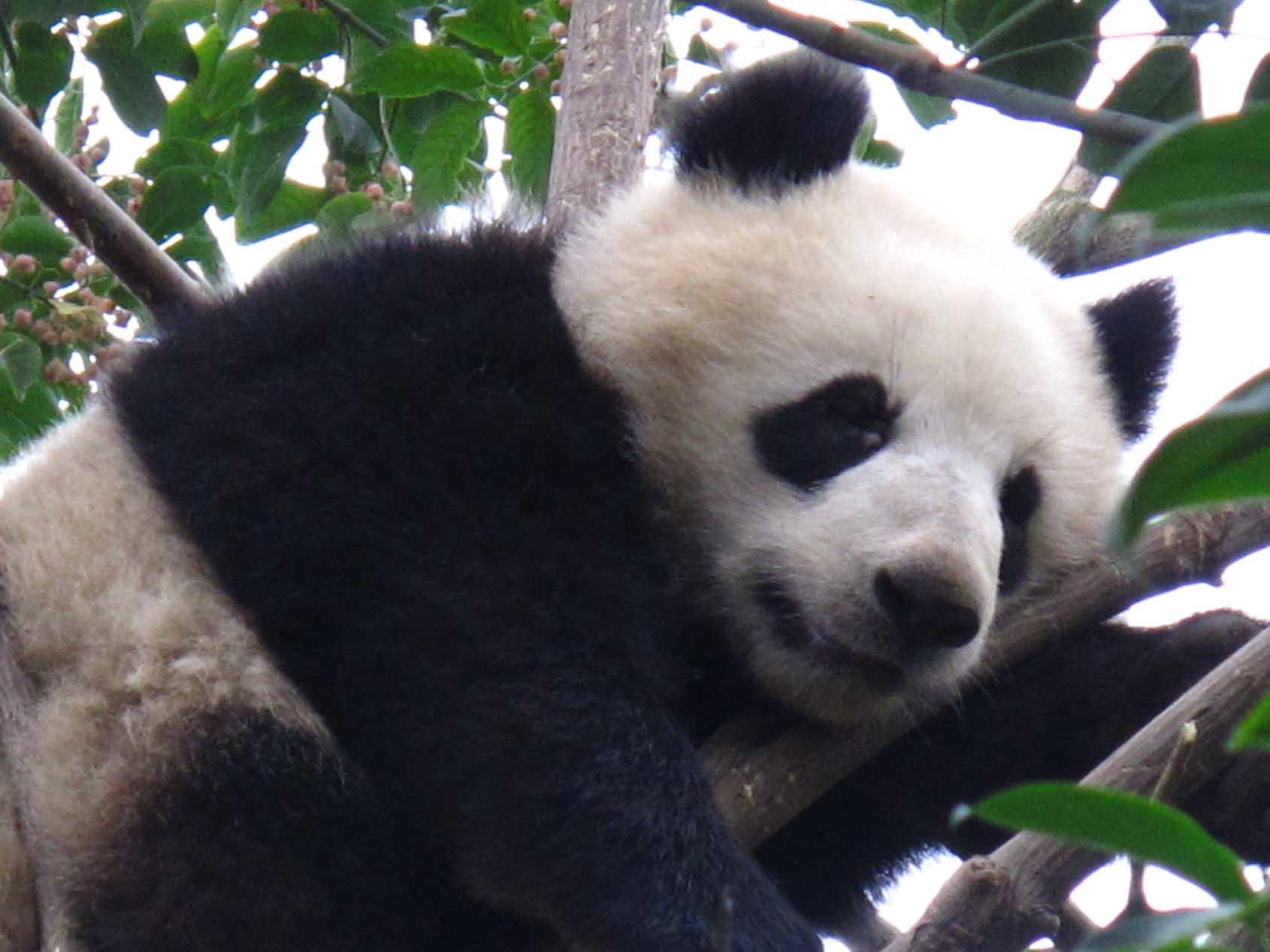 parce qu on n a qu une vie tout pour sauver le panda g ant de chine. Black Bedroom Furniture Sets. Home Design Ideas