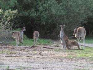 kangourou-bush3