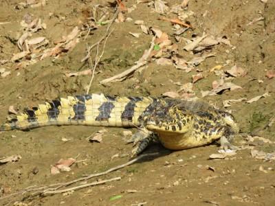 aligator-pampa2