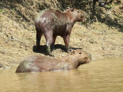 capybara-pampa1