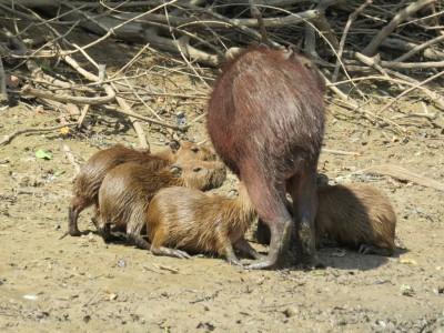 capybara-pampa2