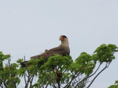 oiseau-pampa1