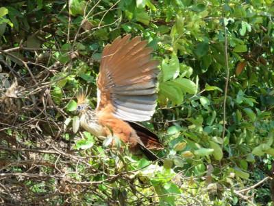 oiseau-paradis-pampa