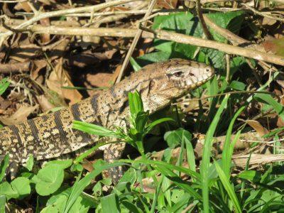 reptile-iguazu